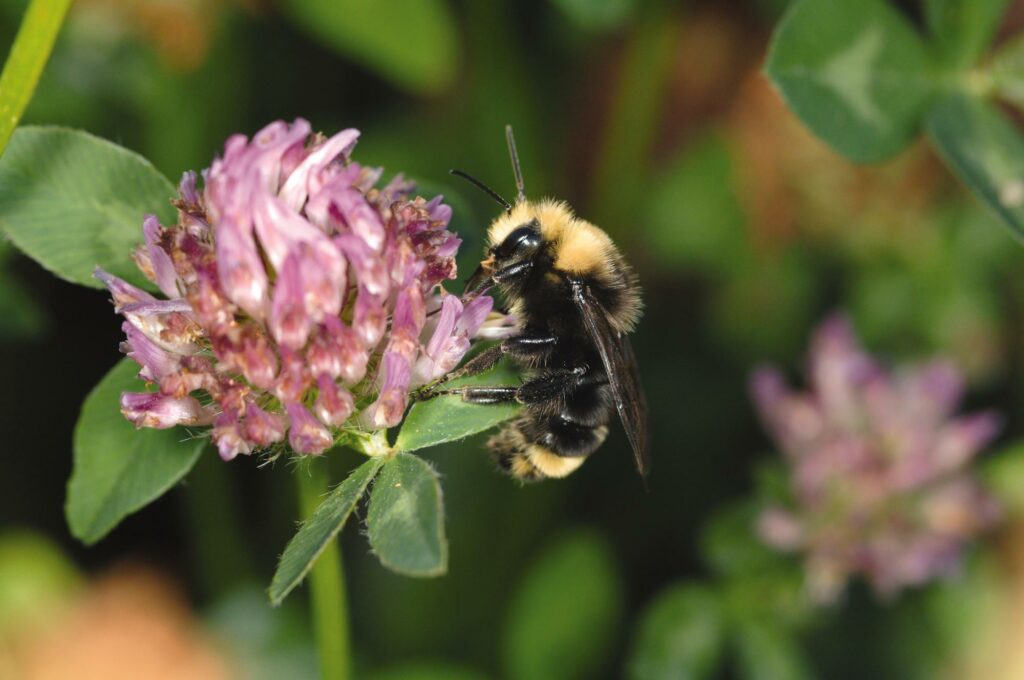 Bumble bee on purple clover blossom.