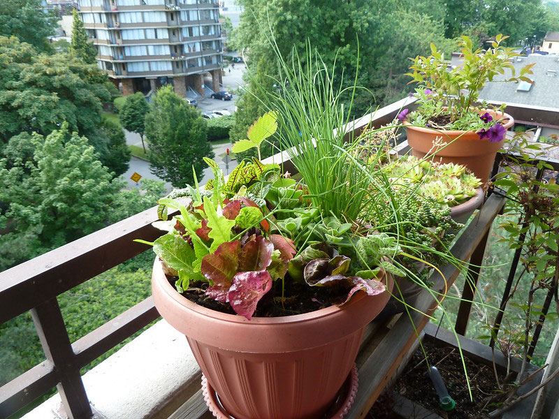 Container pots with vegetables and herbs, growing on a patio.