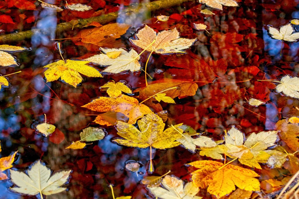 Autumn leaves floating on water.