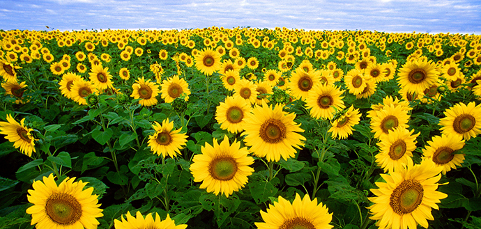 sunflowers are rich with vitamin E