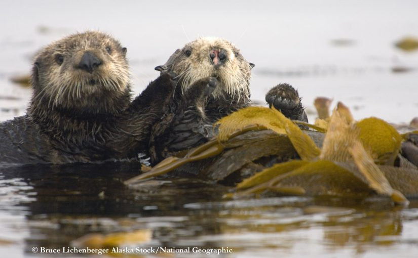 Can sea otters help kelp under a changing climate?