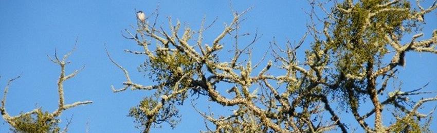 Mistletoes: