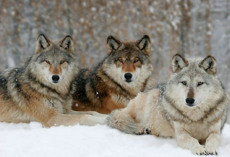 wolf-pack-yellowstone