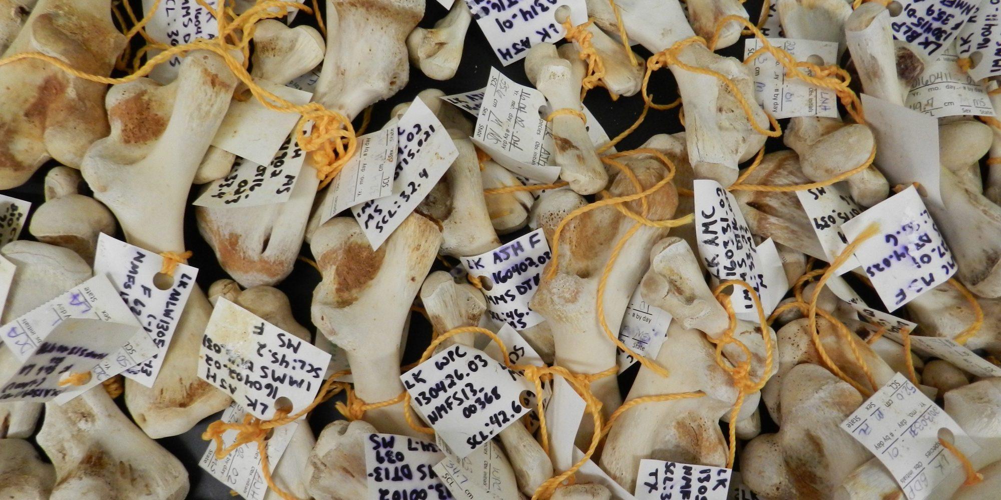 Kemp's ridley sea turtle humerus bones