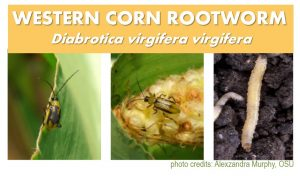 rootworm photos title image