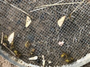 dead yellowjackets and lepidoptera wings