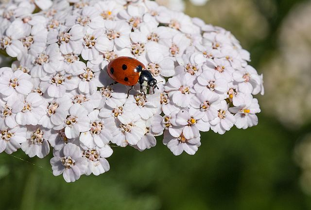 Ladybug (Coccinella septempunctata) on an Common Yarrow's umbel (Achillea millefolium)