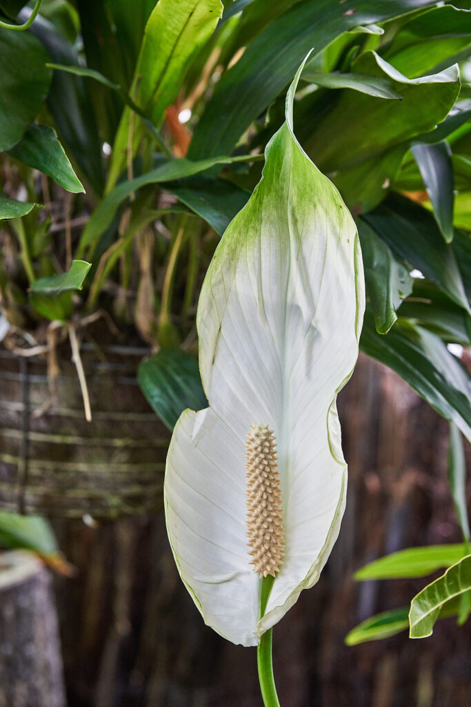 Spathiphyllum lancifolium (Peace lily) has a white teardrop shaped flower with a large yellow stamen in the center.