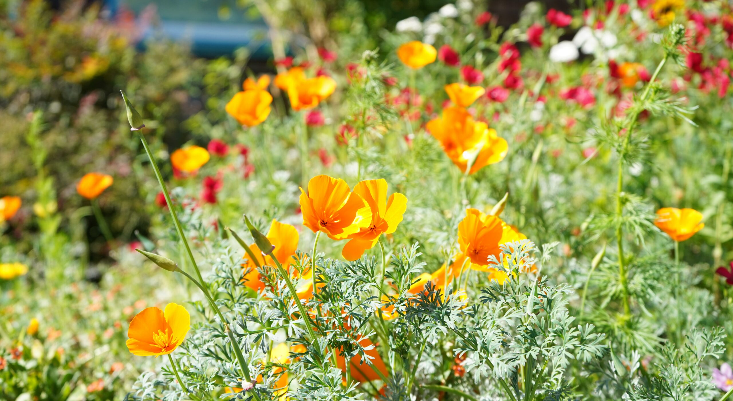 Orange California poppies in a beautifully overgrown garden.