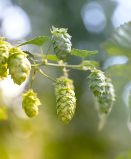 hops on the vine