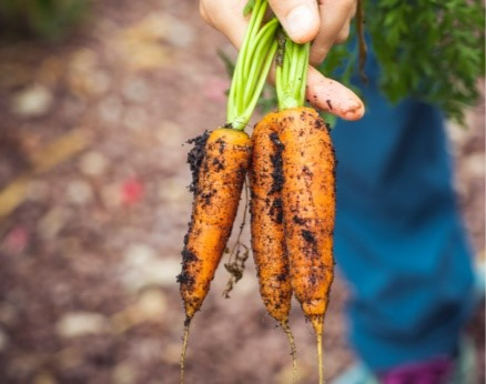 person's hand holding freshly dug carrots with dirt on them