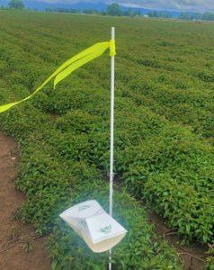 Mint root borer trap
