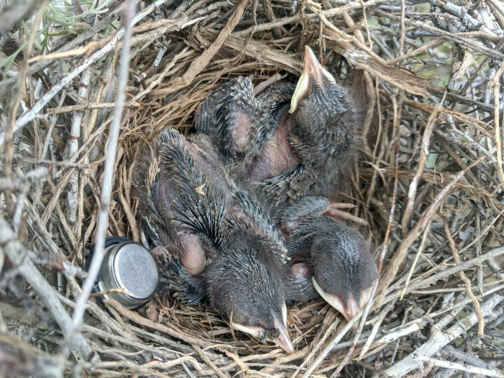 Sage thrasher chicks with a temperature logger in the nest with them used to monitor nest survival