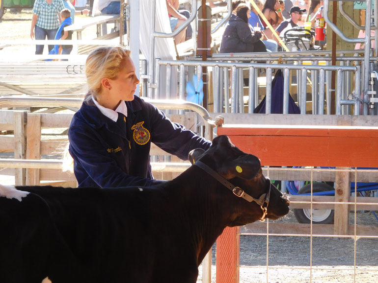 Carrie Harris getting ready to show her cow at the fair.