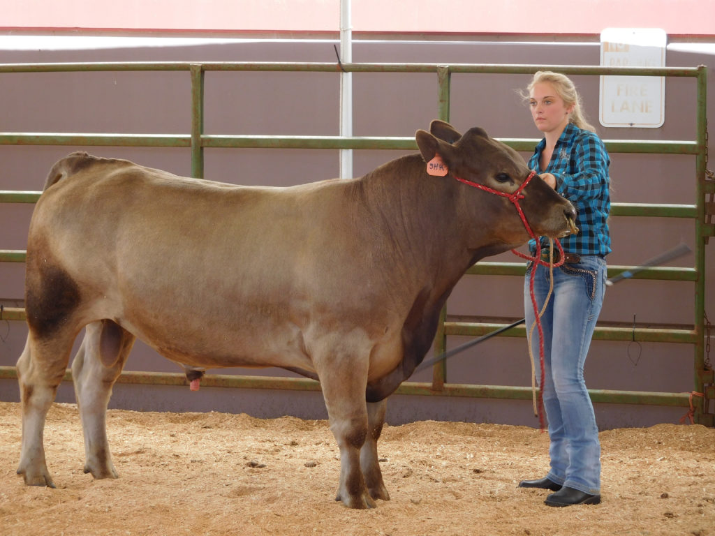 Carrie Harris showing a cow.