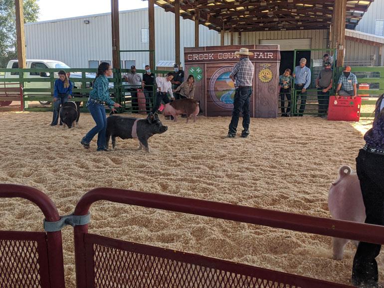 Crook County Fair 4-H swine judging