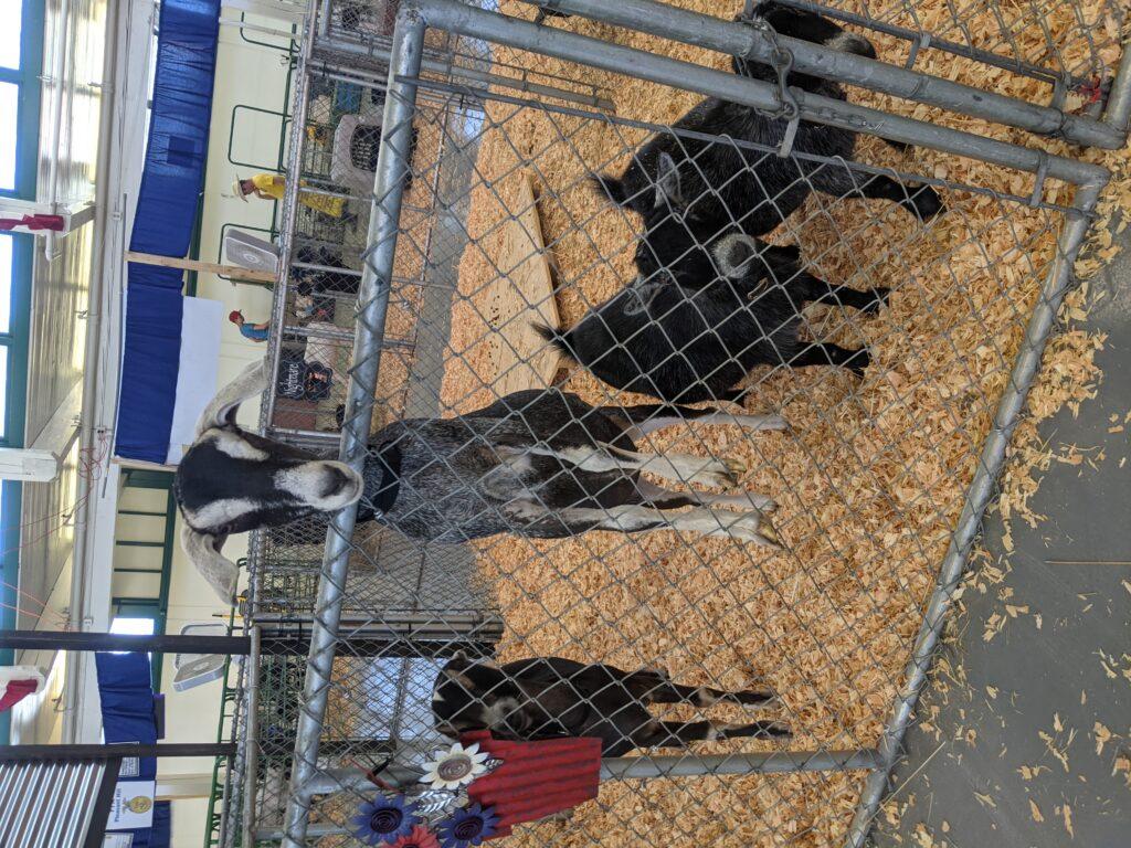 A curious goat at the fair.