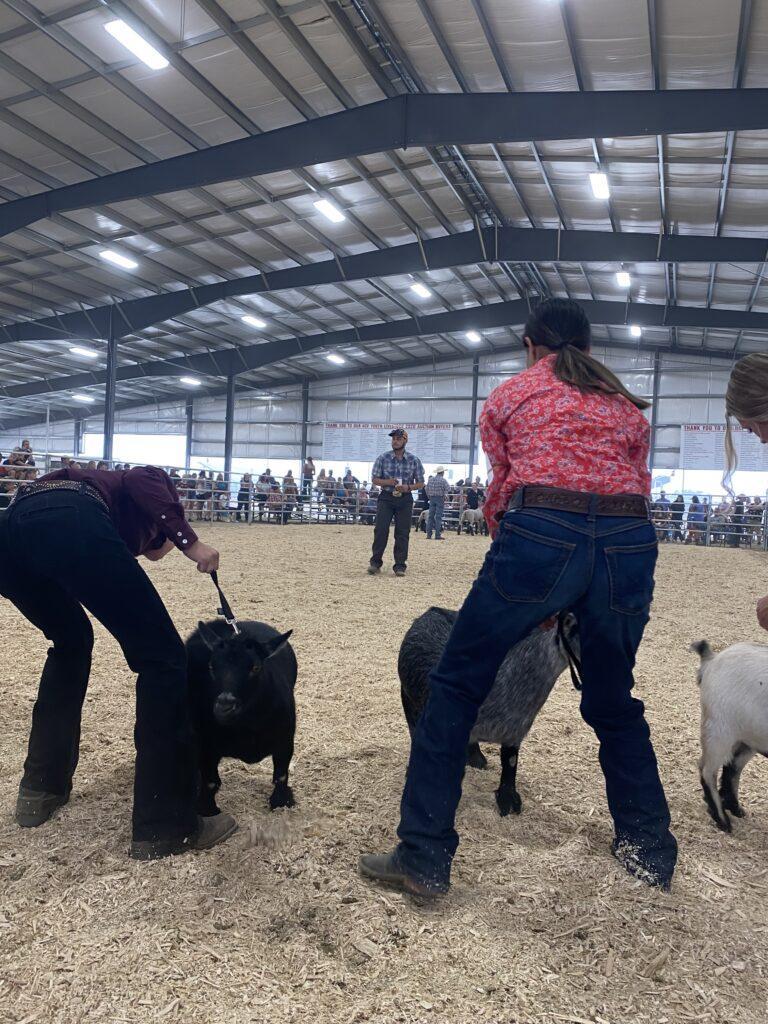 Goat master showmanship judging at the Umatilla County Fair.