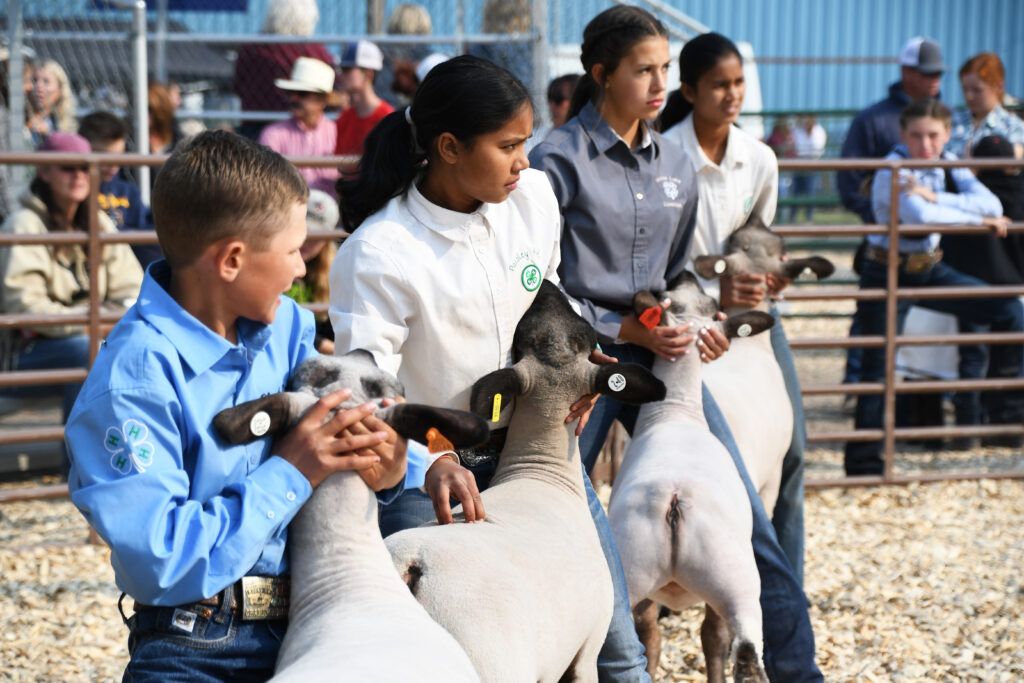 Sheep showmanship at the Lake County Fair. Photo by Alyson Yates.