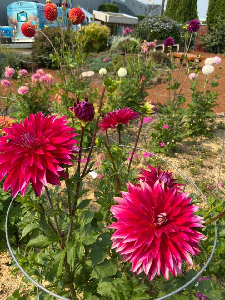 Magenta dahlias in the Tillamook Master Gardeners demonstration garden. Photo by Chloe Hull.
