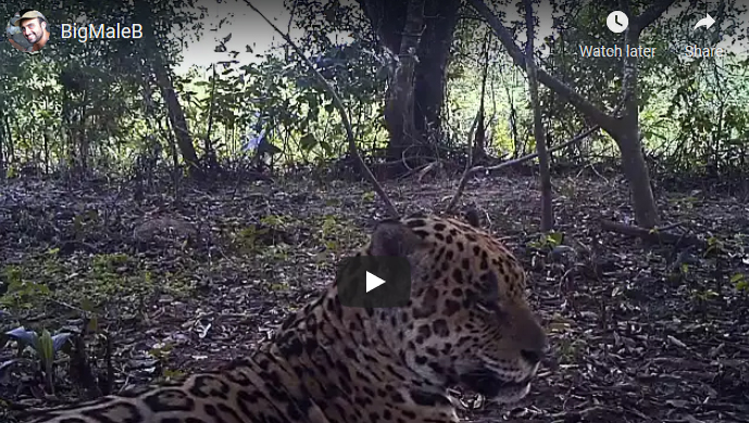 A large jaguar relaxing
