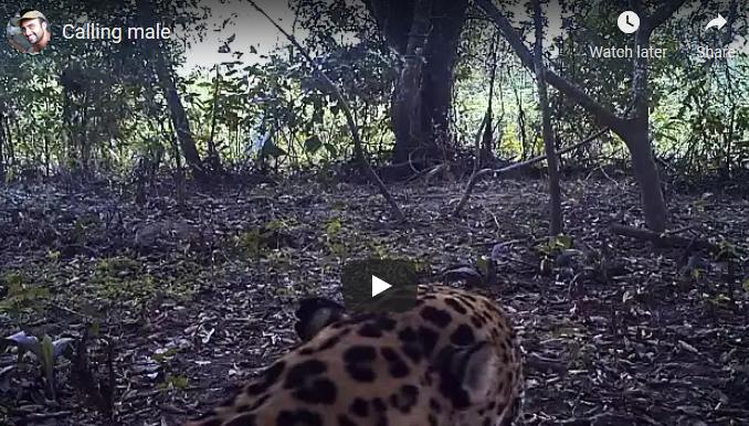 Jaguar calling
