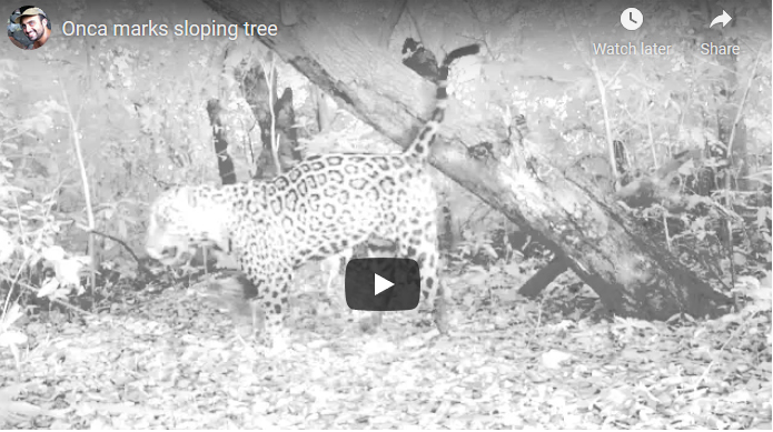 Jaguar scent marking a sloping tree