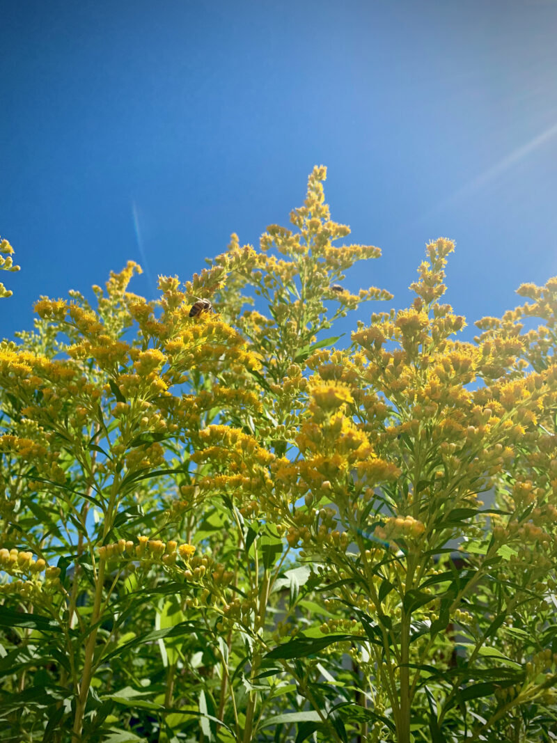 goldenrod in full bloom with bees and bright blue sky